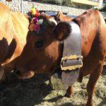 Une vache prête pour le défilé du Retour des Alpages